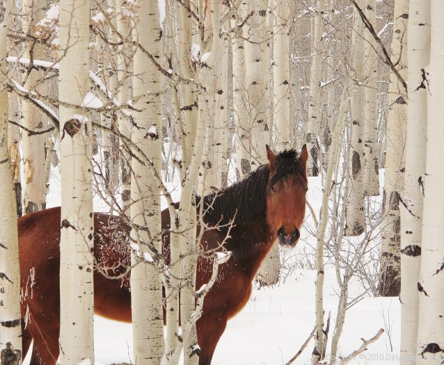 Horse behind Aspen trees with snow on ground