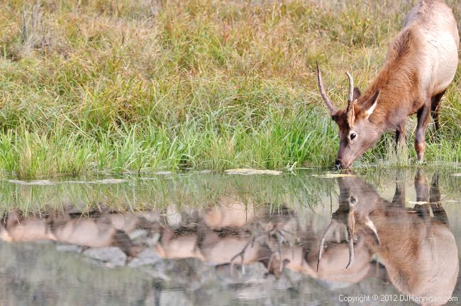 Spike Bull Elk drinking with reflection